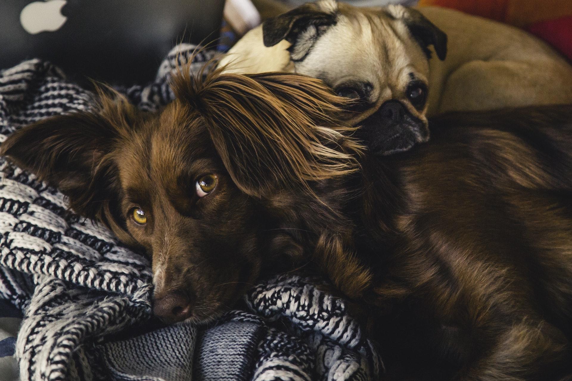 Hundar som vilar