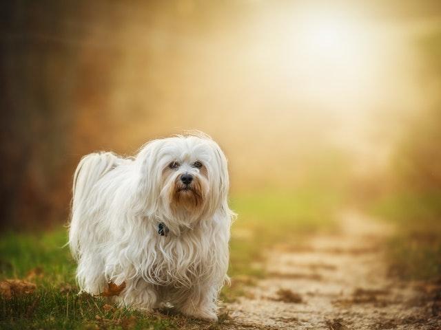 En liten vit hund