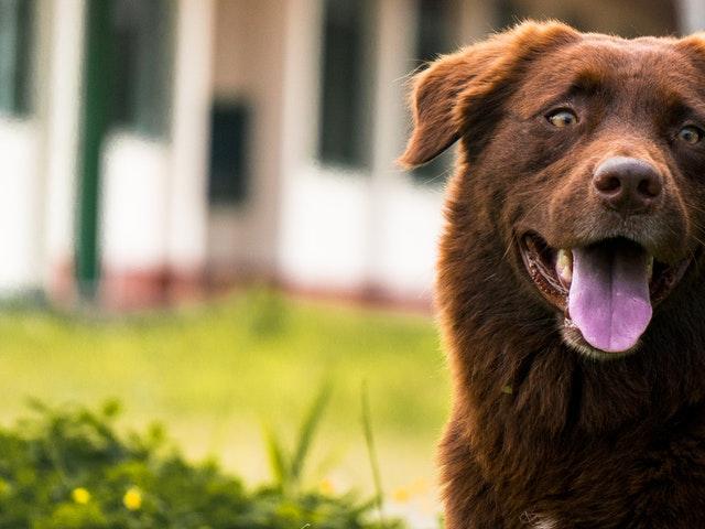 En stor brun hund utomhus